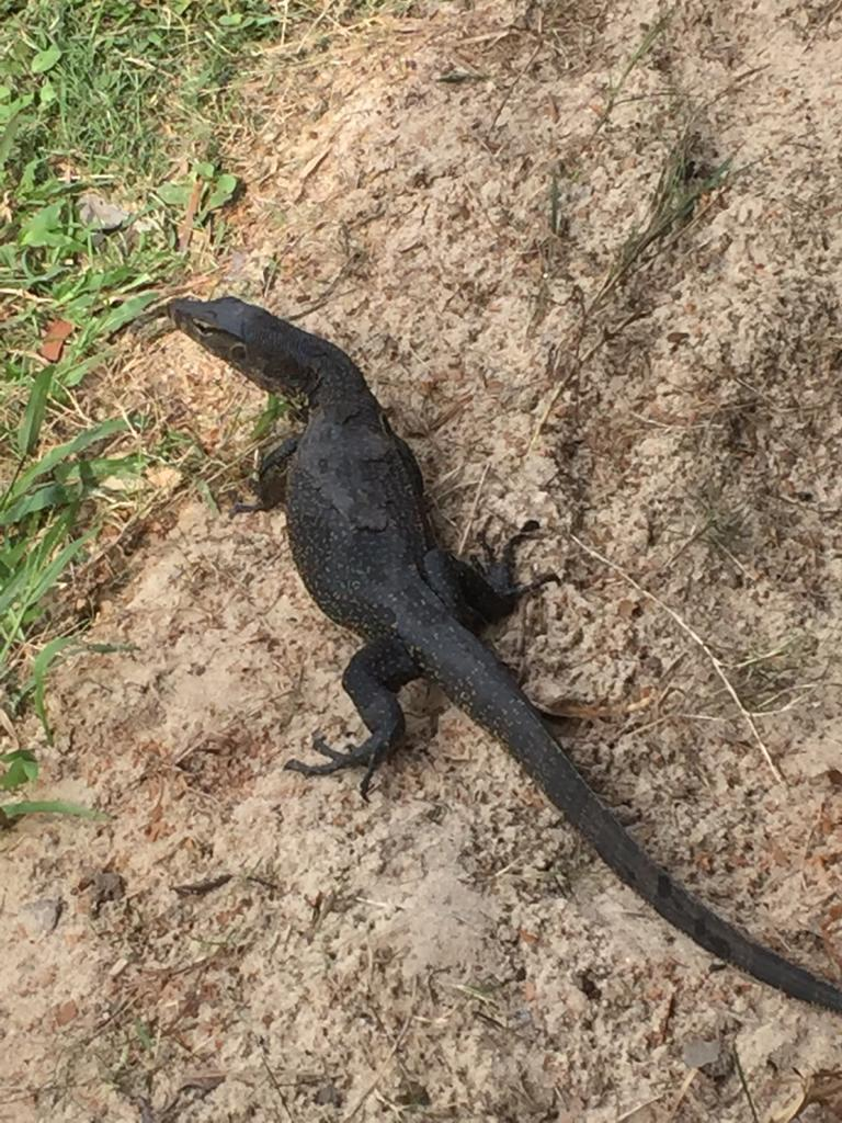 Monitor Lizard on sand